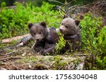 Two Little Brown Bear Cub Are...