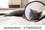 Gray Cat In A Veterinary Collar ...