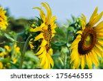 Sunflower Close Up Macro Pollen.