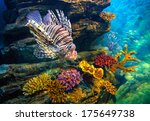 juvenile lionfish over... | Shutterstock . vector #175649738