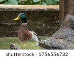 portrait of a cute duck taking... | Shutterstock . vector #1756556732
