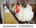 Growing broiler chickens. huge...