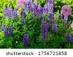 Lupinus Albus. Beautiful Purple ...
