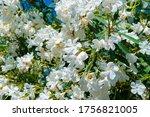 White Turkish Flowers At Blue...
