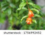 Small Pomegranate On The Tree