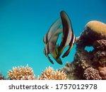 Longfin Batfish. Fish  ...
