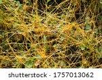 Cuscuta Europaea   Greater...