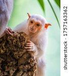 Silvery Marmoset White Monkey...