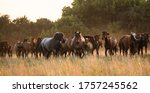 A Large Herd Of Wild Horses Of...