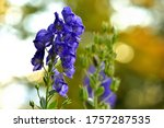 Close Up Of Bloom Of Aconitum...