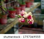 Bougainvillaea  Summer Flower....