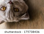 Stock photo interests of the british cat 175738436