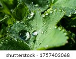 Alchemilla Leaf With Water...
