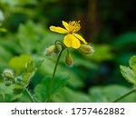 Yellow Flowers Of Celandine...