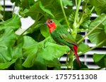 A Red Head Parrot Finch With...