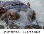 The Hippopotamus  Hippopotamus...