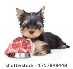 Hungry Yorkshire Terrier Puppy...