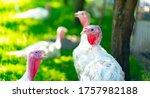 Breeding Turkeys On A Farm....