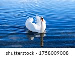 White Swan In Lake Water. Swan...