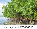 Mangroves Growing In Shallow...