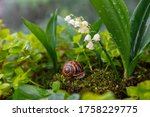 A Large Brown Snail Crawls In...