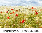 Wild Red Poppies And Camomile...