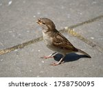 Singing Female House Sparrow On ...