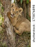 Lion Cub Playing With A Branch...