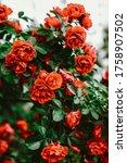 Beautiful Red Roses In Garden....