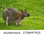 The Red Necked Wallaby Or...
