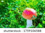Fly agaric mushroom view. red...