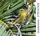 Yellow Western Tanager Bird In...