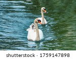 Family Of Swans With Cubs