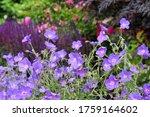 Purple Hardy Geranium 'orion'...