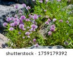 wild chives with pretty purple...