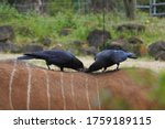 Crow\'s Couple Is Plucking Hair...
