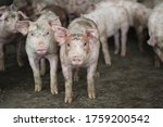 Group Of Fattening Pig Looking...