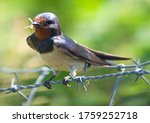 Swallow With An Insect In Its...