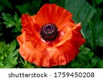 Close Up Of Red Poppy Flower ...