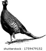The Pheasant Is Heavy  Ground...