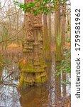 Distinctive Cypress Tree Trunk...