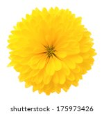 Yellow Chrysanthemum. Deep...