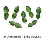 Kaffir Lime Leaves Fresh...