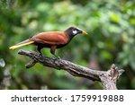 Psarocolius montezuma, Montezuma oropendola The bird is perched on the branch in nice wildlife natural environment of Costa Rica