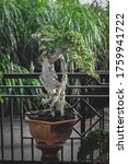 Photographing Bonsai In The...
