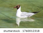 Laughing Gull  Close Up  Natur...