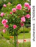Stock photo roses in garden 17600608