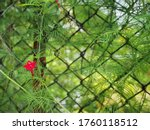 The Green Cypress Vine Is...