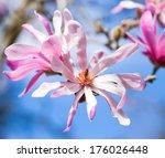 Magnolia Flowers  Blue Sky