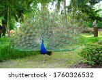 Peacock Blue  Peacock Ordinary...